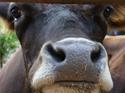 cow2a.jpg